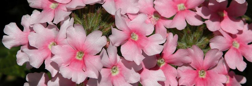 Verveine à fleurs